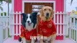 神犬小七2:狗狗開生日會,還拍可愛藝術照,一副大明星的樣子