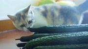 猫咪真的怕黄瓜吗?